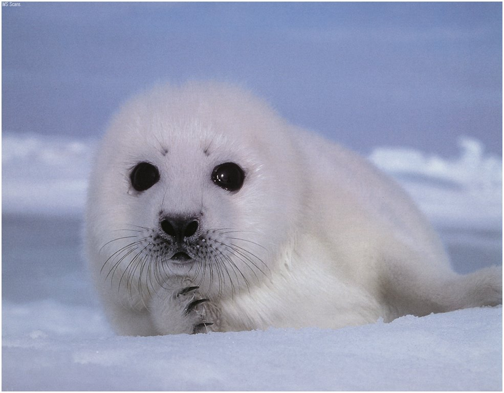 URGENT: Canada is brutally slaughtering baby seals. Help HSUS to help the Seals